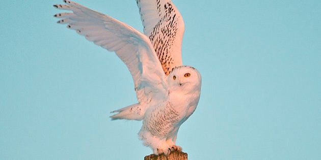 Snowy Owl in Flight taking-off (Photo by: Education Images/UIG via Getty