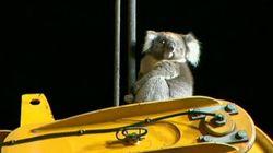 Le sauvetage insolite d'un koala à