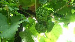 Le vin français sera rare cette