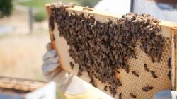 Bee-Killing Germs May Leave You With Less Food