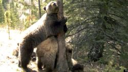WATCH: It's The Ultimate Grizzly Scratching