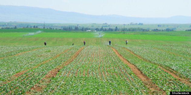 migrant workers weeding or