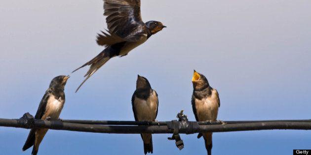 Swallow Populations Plummeting In Metro
