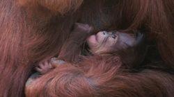 Un très rare bébé orang-outan est né en