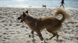 Un chien équipé de prothèses à la