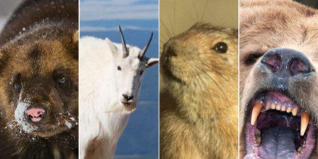 Animals In Alberta: Big, Bad And Beautiful Creatures Roam The Prairie