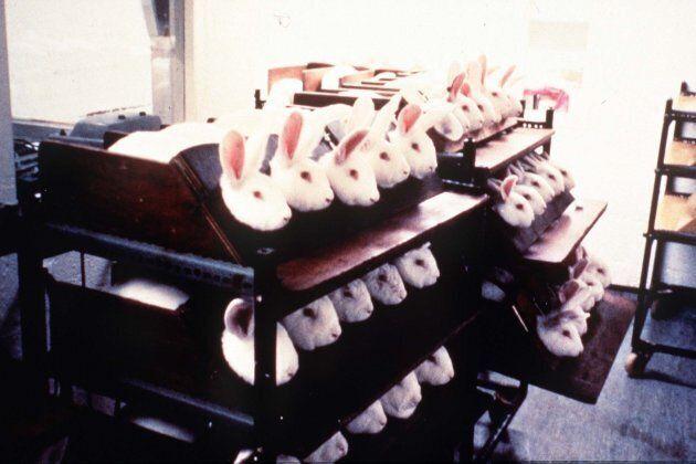 Photo non datée de lapins en captivité pendant des tests d'irritants oculaires pour des cosmétiques.