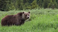 WATCH: Bear Spotting In Banff National