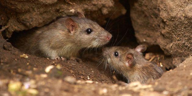 Rats In Medicine Hat Jeopardize Alberta's Rat-Free
