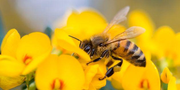Honey bee on a pea flower in Australia.