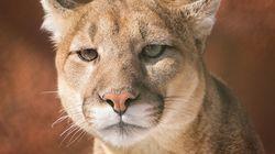Cougars Shot Near Cranbrook