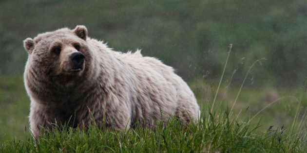 B.C. Grizzly Bear Hunt Opens With Highest Number Of Tags In