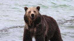 B.C. Grizzly Hunt Under International
