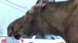 WATCH: Moose Attack Caught On