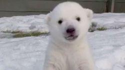Lone Polar Bear Cub Makes