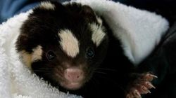 LOOK: Rescued Skunk Is SO