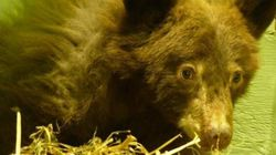 LOOK: Bear Cub Rescued From The Darndest