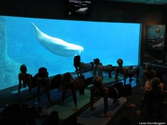 Yoga With Beluga Whales At The Vancouver Aquarium