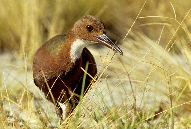 A flightless Aldabra rail walking in the grass on the Aldabra