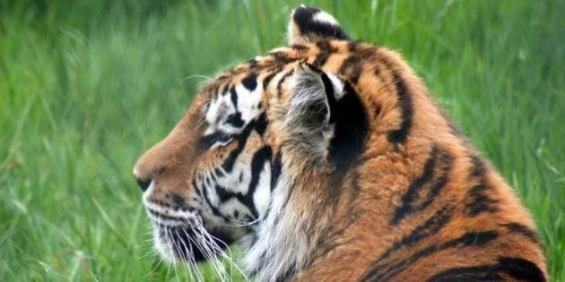 Sweetie, Siberian Tiger At Greater Vancouver Zoo, Put