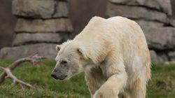 Polar Bear Marauders In Manitoba