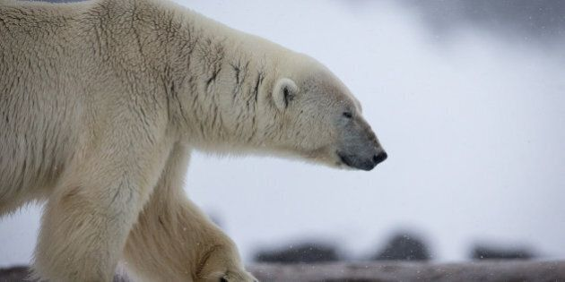 Polar Bear Attacks In Churchill, Manitoba, Neighbours Come To The