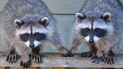 RACCOONS HOLDING