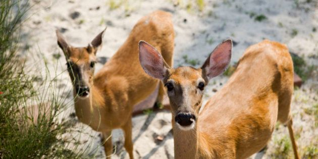 Invermere Deer Cull Approved