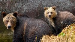 Why Does B.C. Gov't So Desperately Want Grizzly Bears