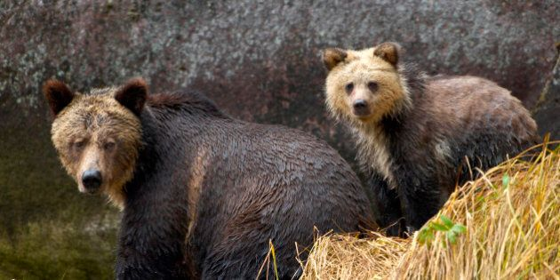 Why Does Bc Government So Desperately Want Grizzly Bears Dead