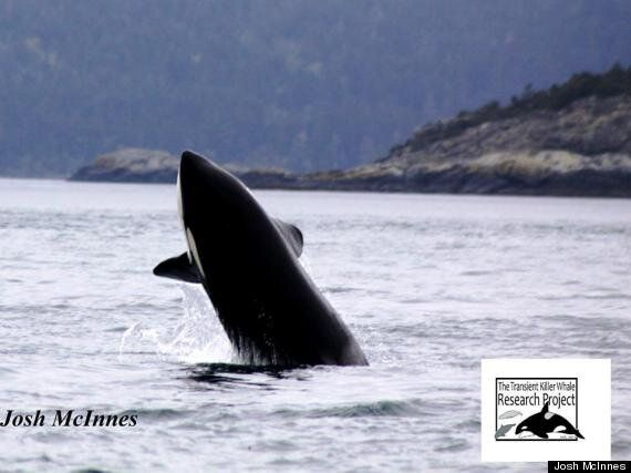 Killer Whale Photos Show B.C. Calf Hanging Out