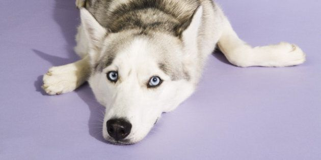 Husky Found Dead With Muzzle Taped Shut In Calgary (GRAPHIC