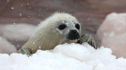 On Seal Hunt, it's Canada vs.