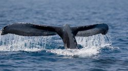 Down-Listing Jeopardizes Humpback