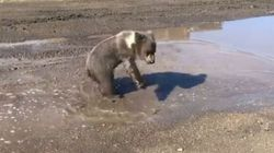Baby Bear Playing In A Puddle Is Just What You Need To See