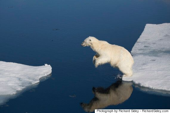 Polar Bears Are Forced Onto Perpetual Treadmills Thanks To Diminishing Sea