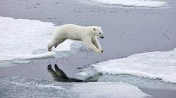 Fast Moving Sea Ice Is Turning Polar Bear Habitats Into