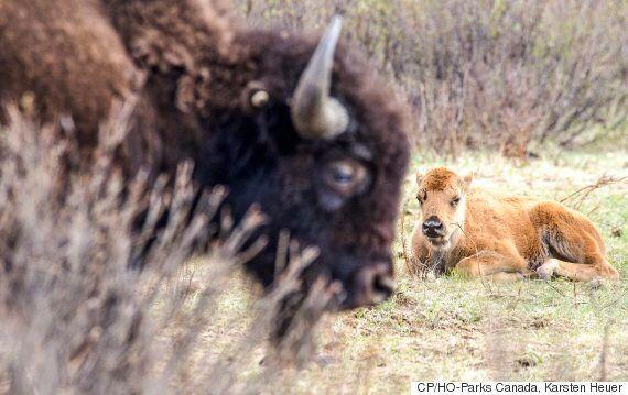 10 Bison Calves Born In Banff National