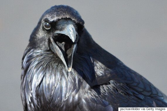 Newfoundland Man Brings In Priest To Help With Out-Of-Control Raven