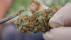 South American Nation Blazed Path For Canada On Pot