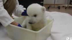 WATCH: There Comes A Time For Every Polar Bear Cub To Take A