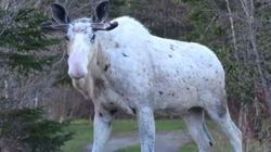 Amazing Encounter With White Moose Stuns Newfoundland