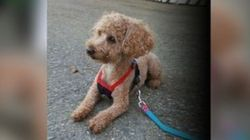 Poodle Locked In Suitcase And Dumped In B.C.