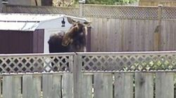 WATCH: Loose Moose Wanders Into Canadian's