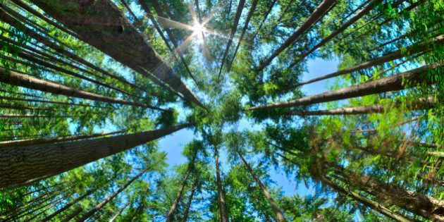 Fisheye HDR view looking directly up in dense Canadian pine forest with sun glaring in clear blue sky...