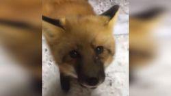 ► Adorable Fox Befriends Miners In Northwest