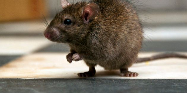 No New Rats Found At Medicine Hat