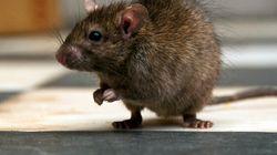 E-Rat-Icated?