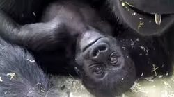 Baby Gorilla At Toronto Zoo Is Adorable, Named