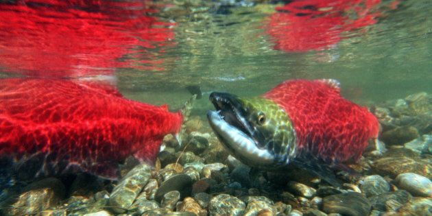 Fish Farming: B.C. Legal Battle